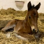 First Foal for Invincible Army X Red Randsom, born 19th January 2021 at Grange Hill Stud